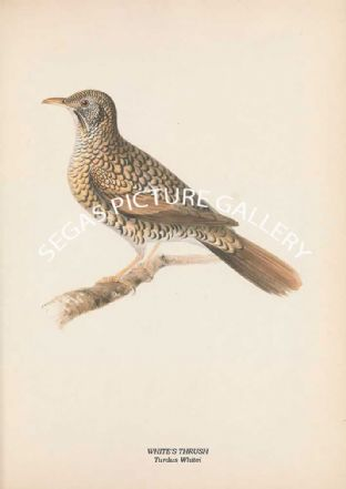 WHITE'S THRUSH - Turdus Whitei